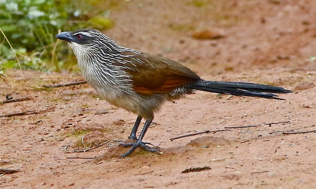 White-browed Coucal (White-browed)