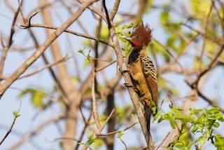 - Kaempfer's Woodpecker