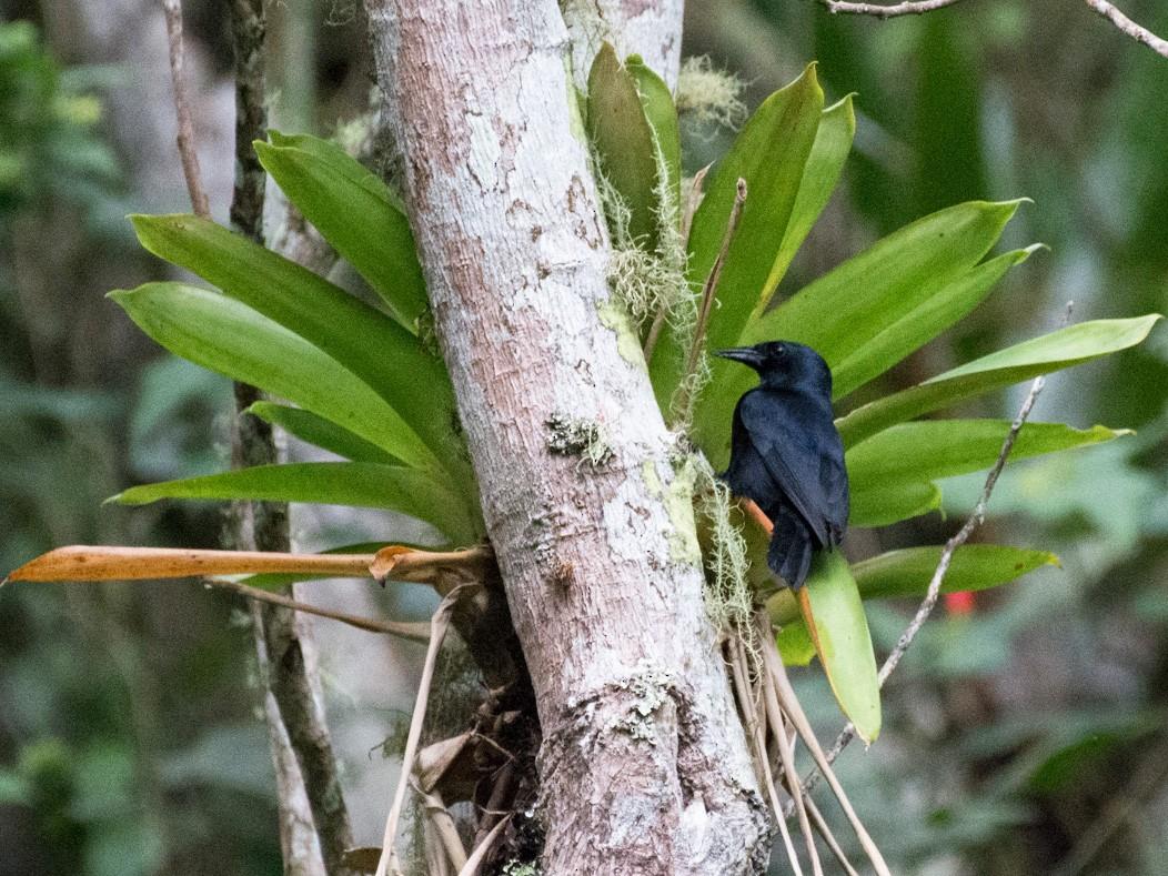 Jamaican Blackbird - Eliana Ardila Kramer
