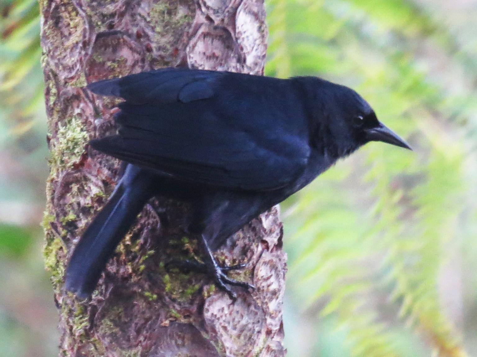 Jamaican Blackbird - Garrett MacDonald