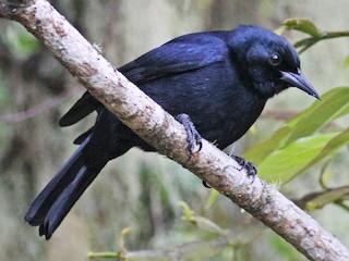 - Jamaican Blackbird