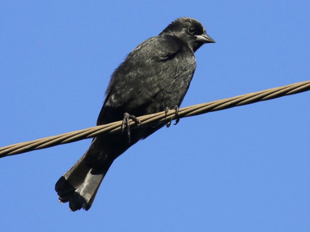 Tawny-shouldered Blackbird - Knut Hansen