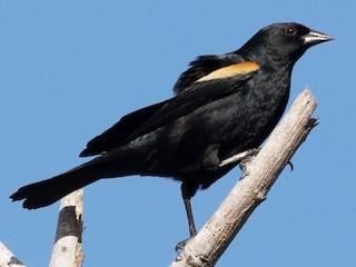 - Tawny-shouldered Blackbird