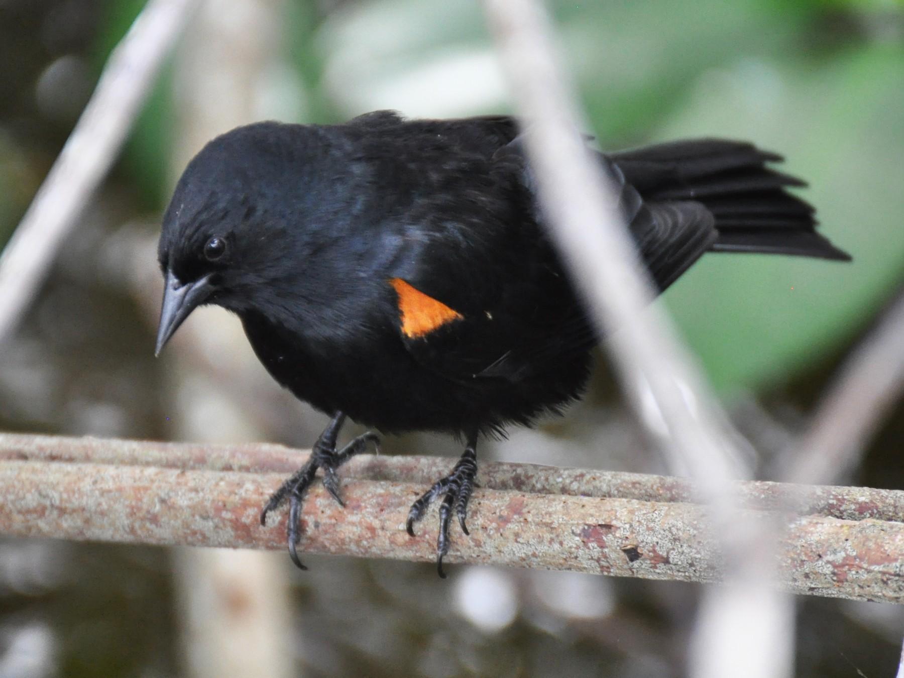 Tawny-shouldered Blackbird - James Thompson