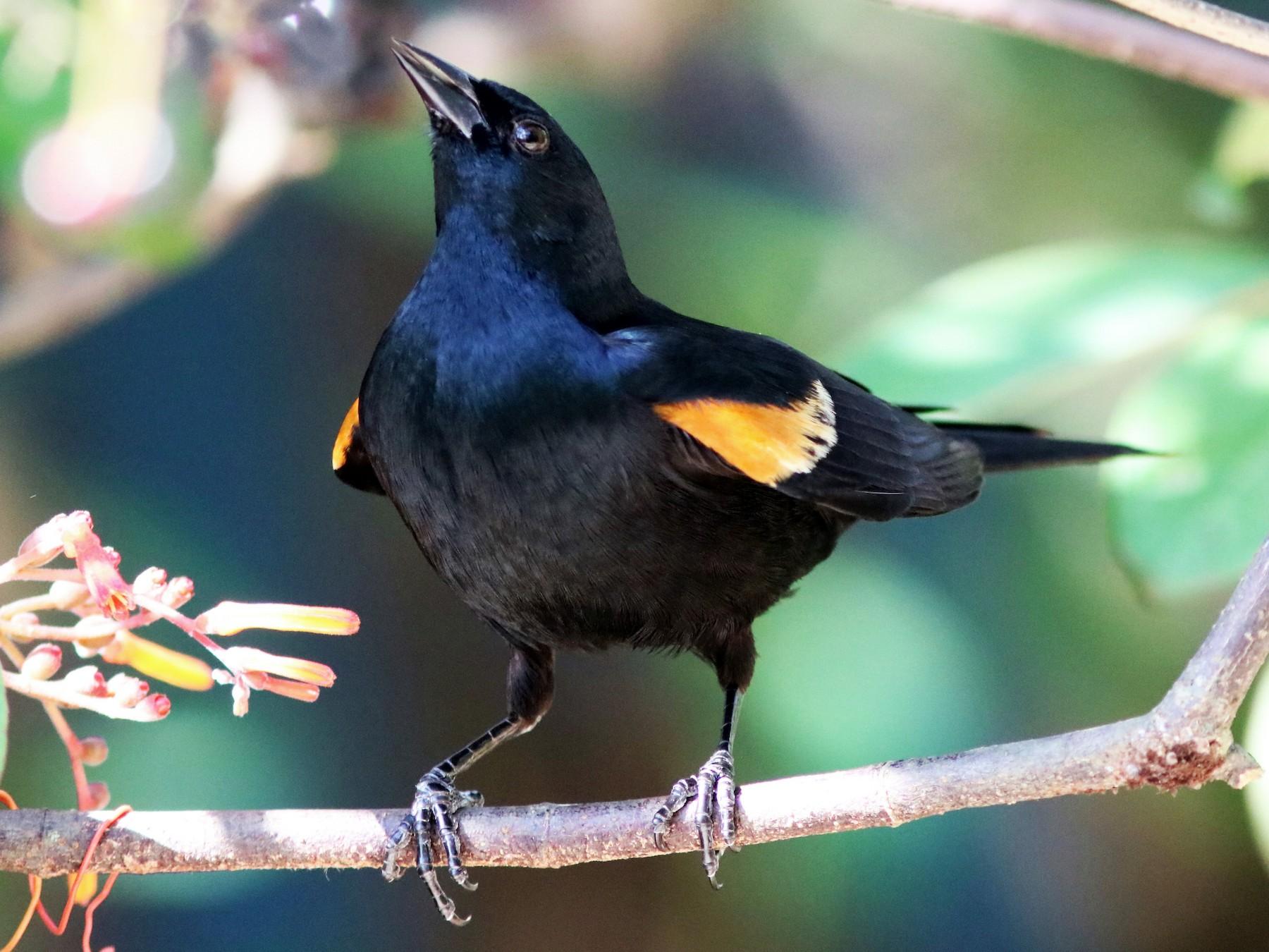 Tawny-shouldered Blackbird - John Drummond
