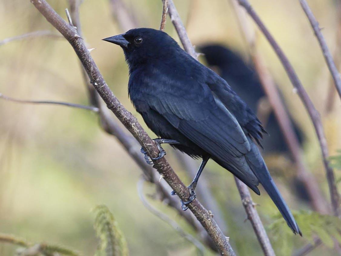 Red-shouldered Blackbird - Arturo Kirkconnell Jr