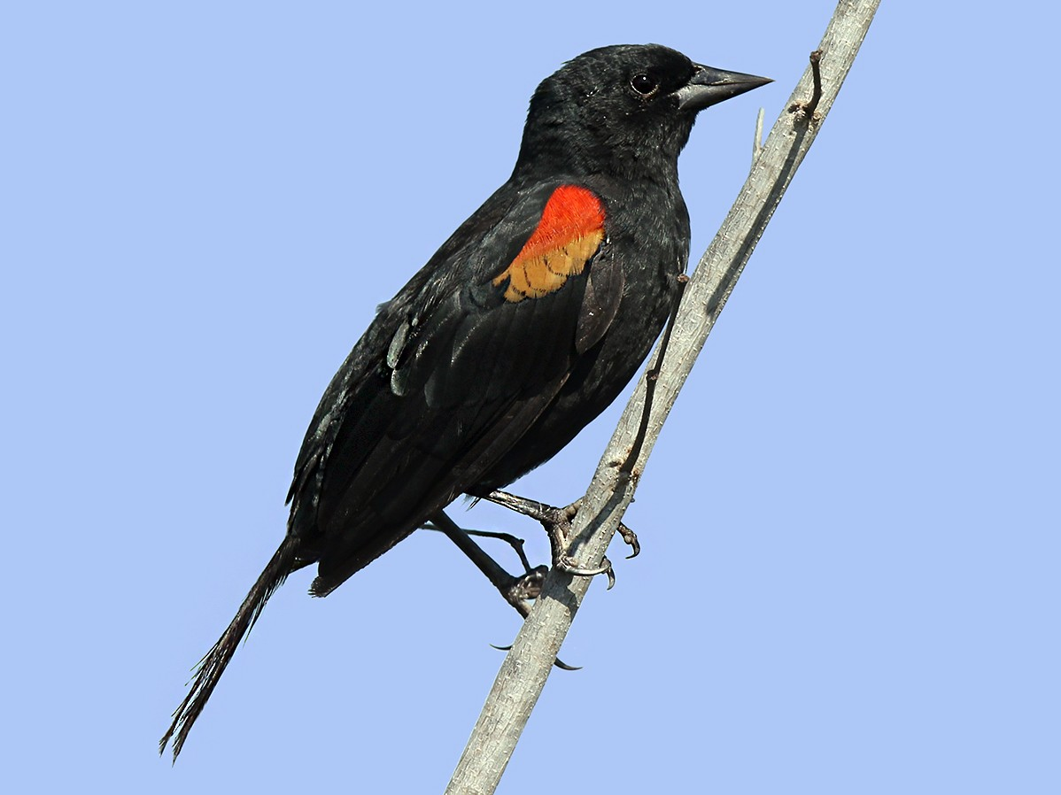 Red-shouldered Blackbird - Arturo Kirkconnell Jr