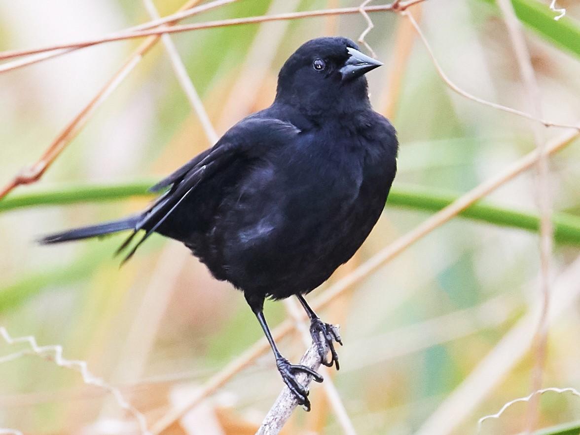 Red-shouldered Blackbird - Andrew Haffenden