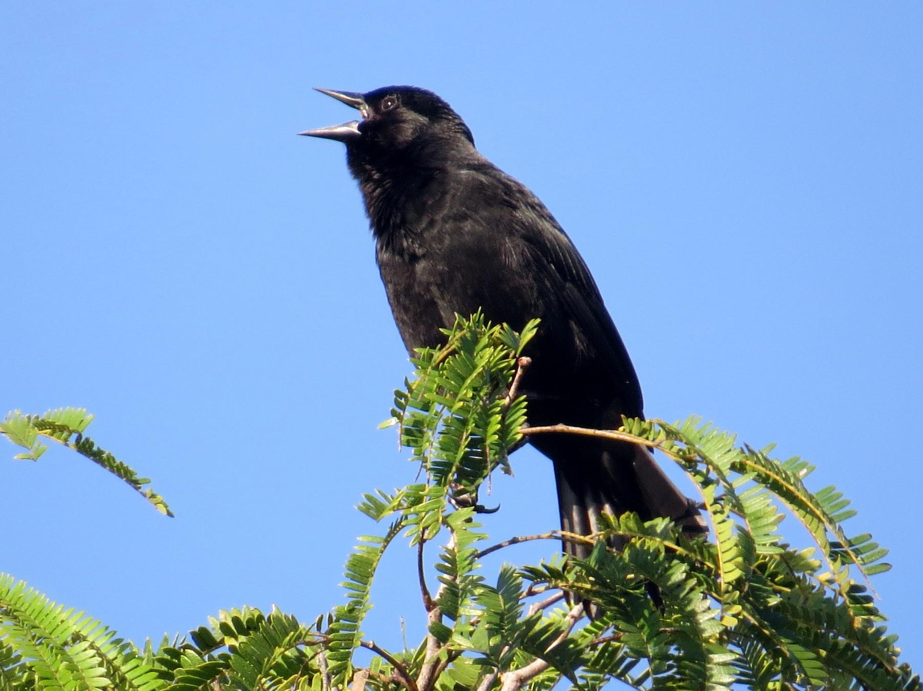 Red-shouldered Blackbird - Aaron Steed