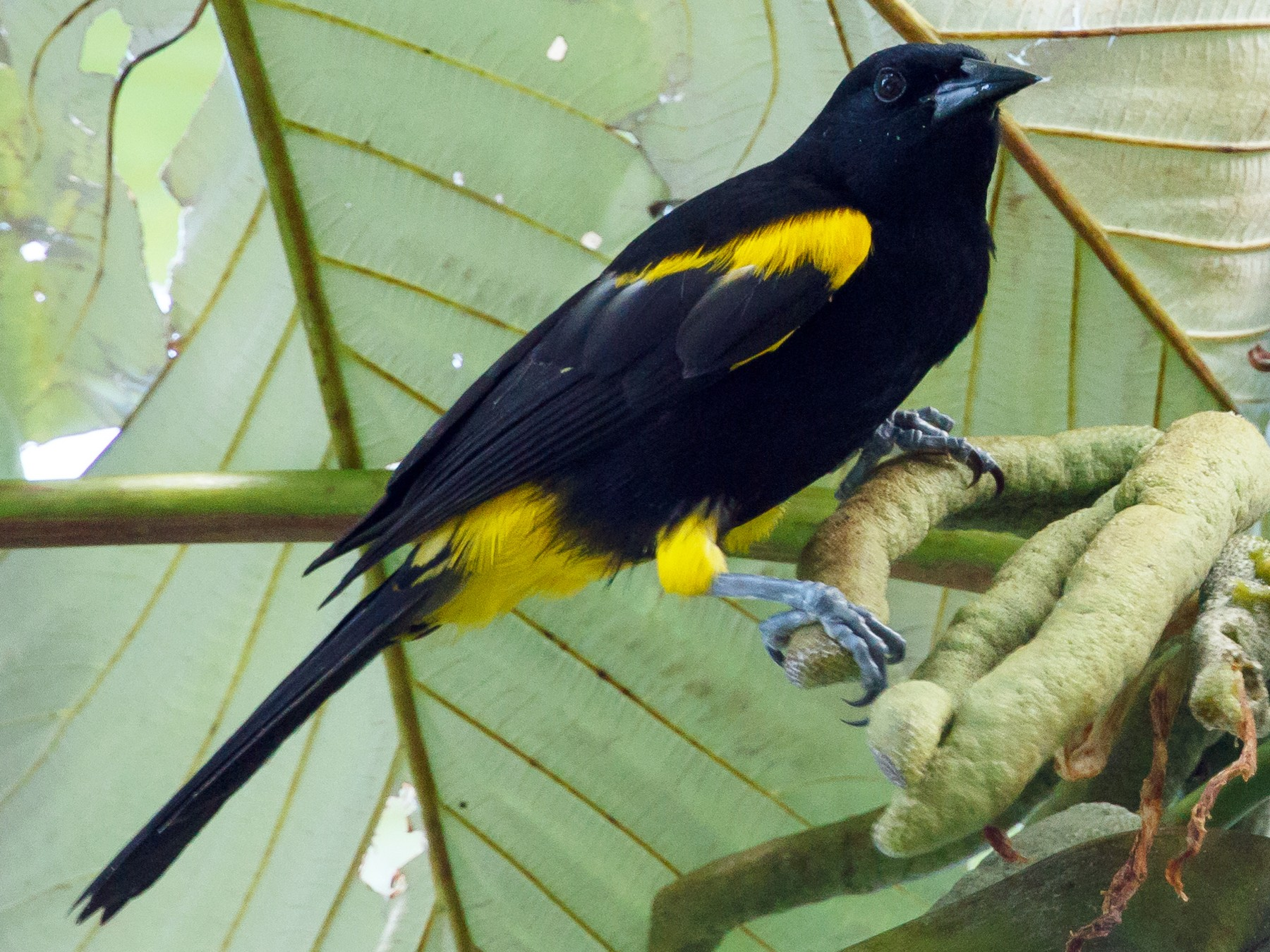Puerto Rican Oriole - Jeff Stacey
