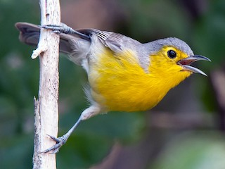 - Oriente Warbler