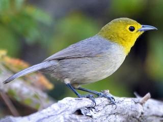 - Yellow-headed Warbler