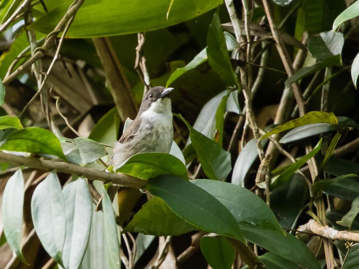 Puerto Rican Tanager - jose santiago
