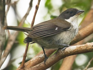 - Puerto Rican Tanager