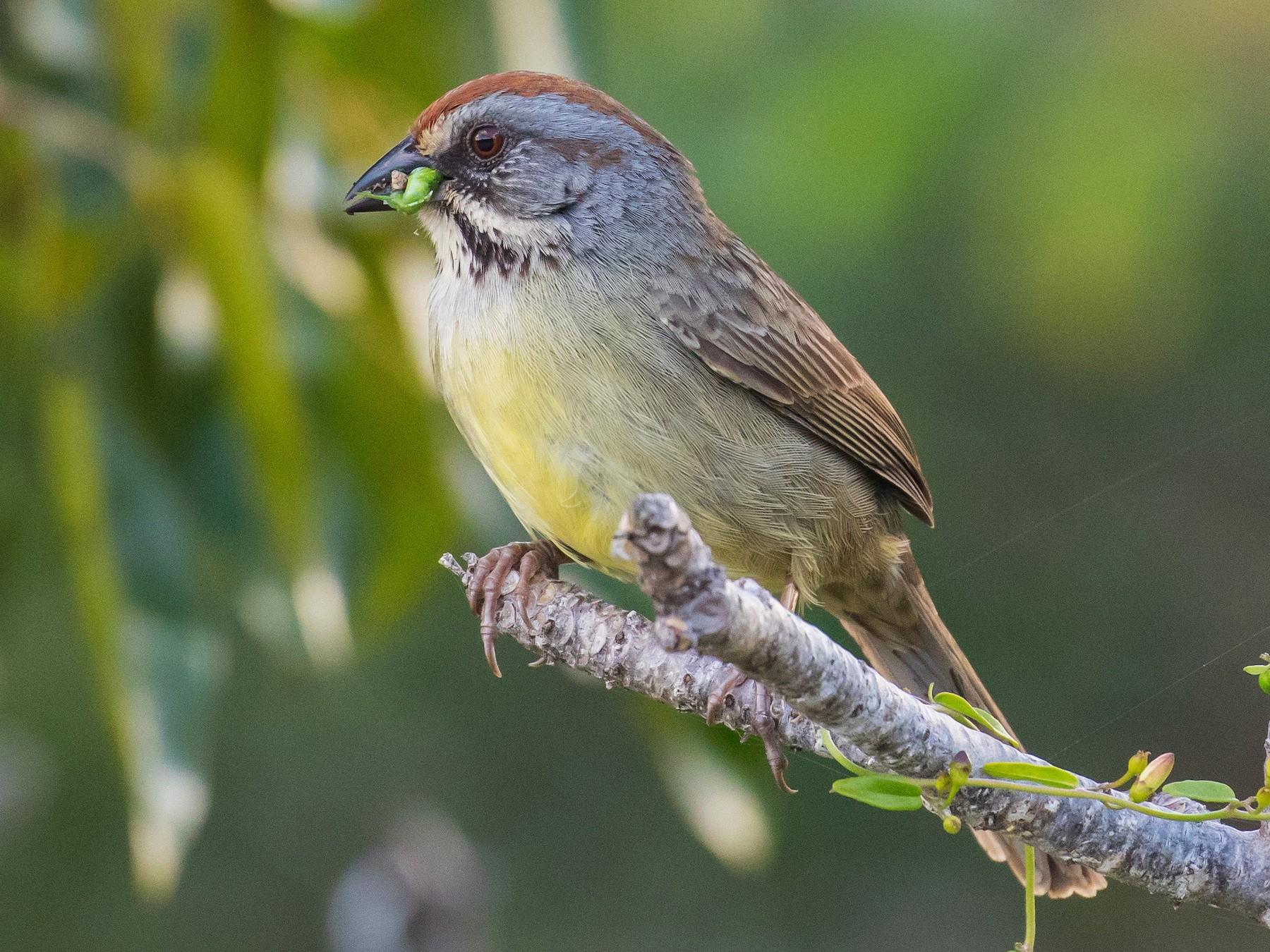 Zapata Sparrow - Andrew Haffenden