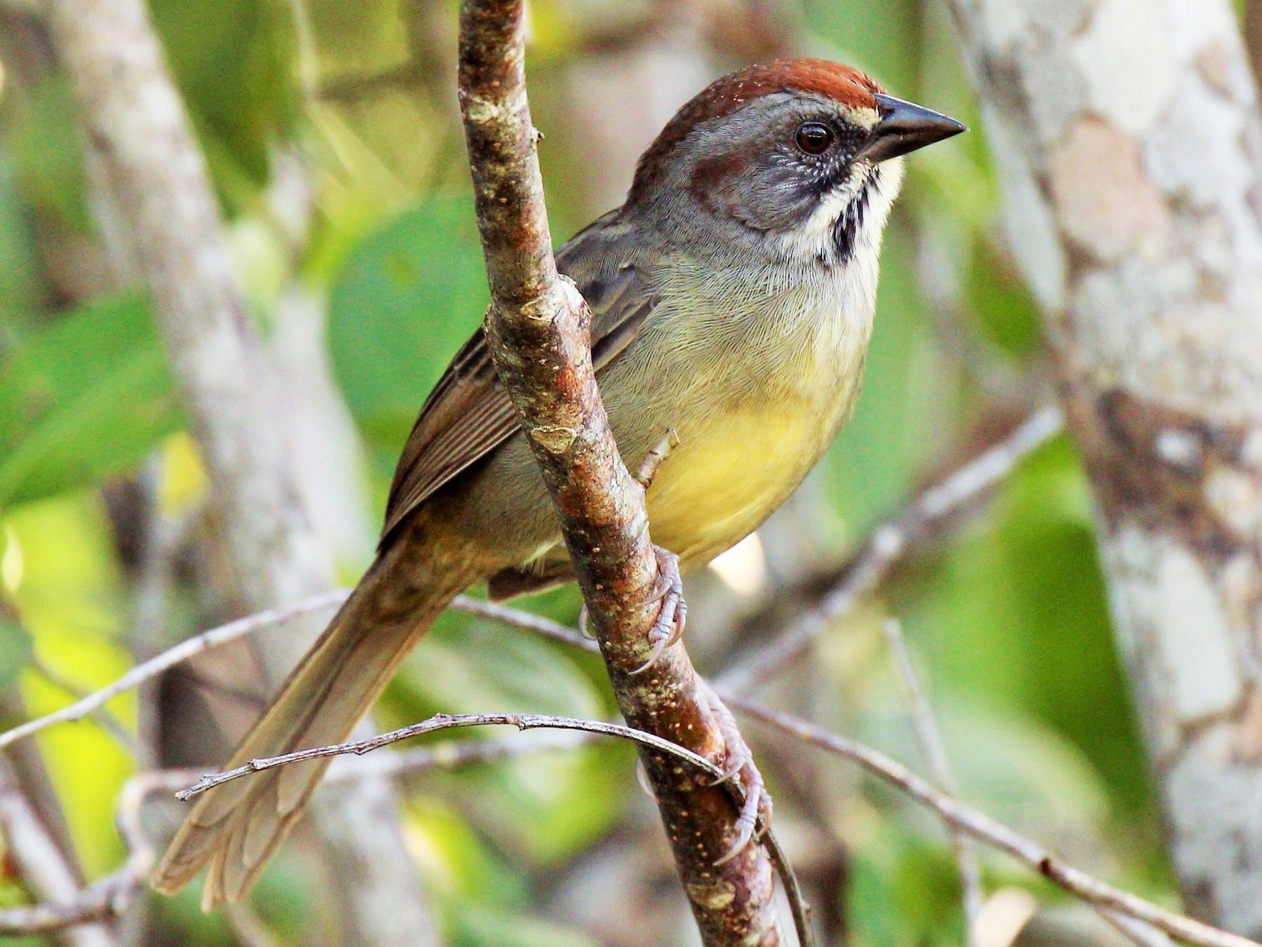 Zapata Sparrow - Jason Estep