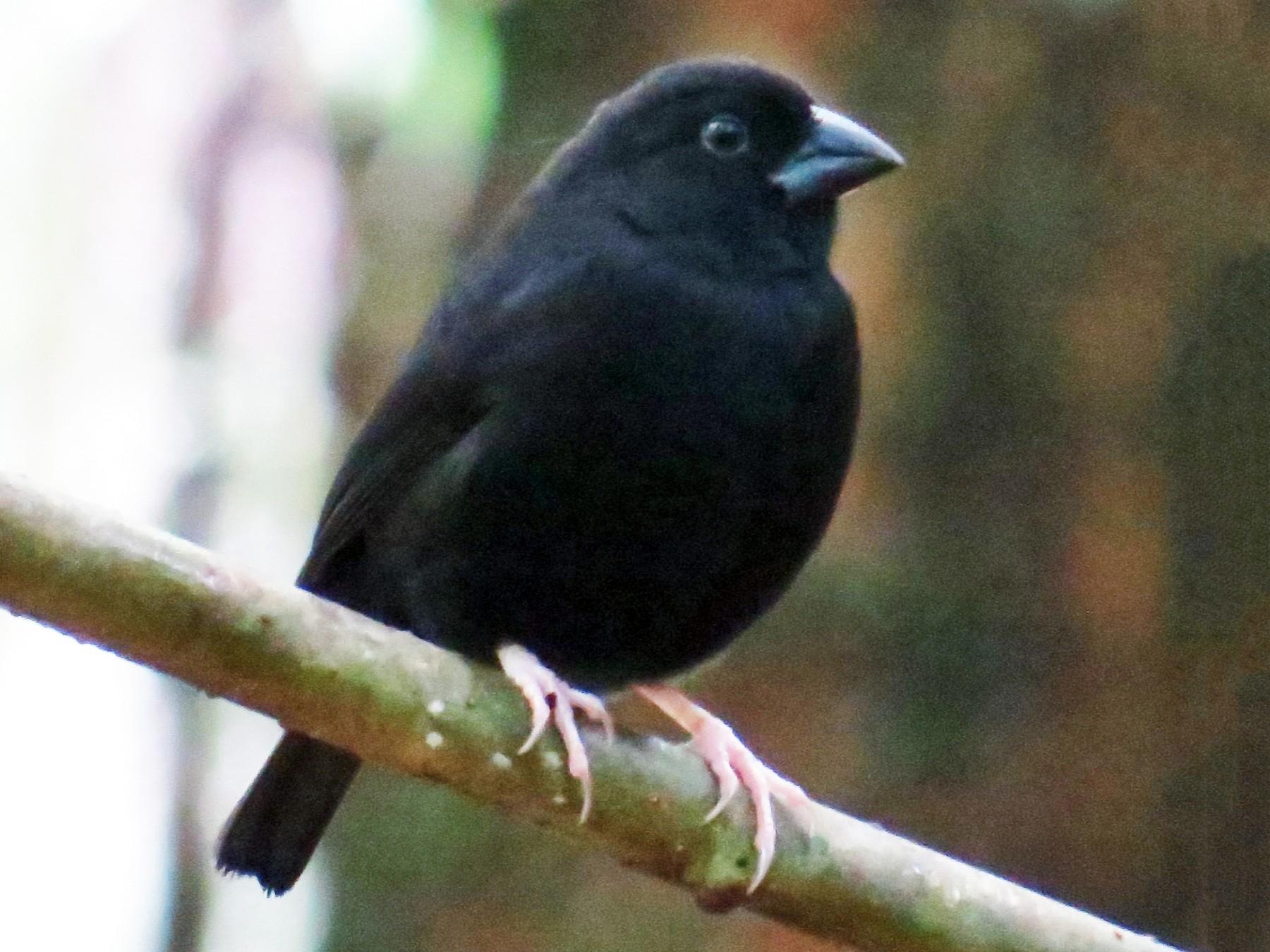 St. Lucia Black Finch - Stuart Malcolm