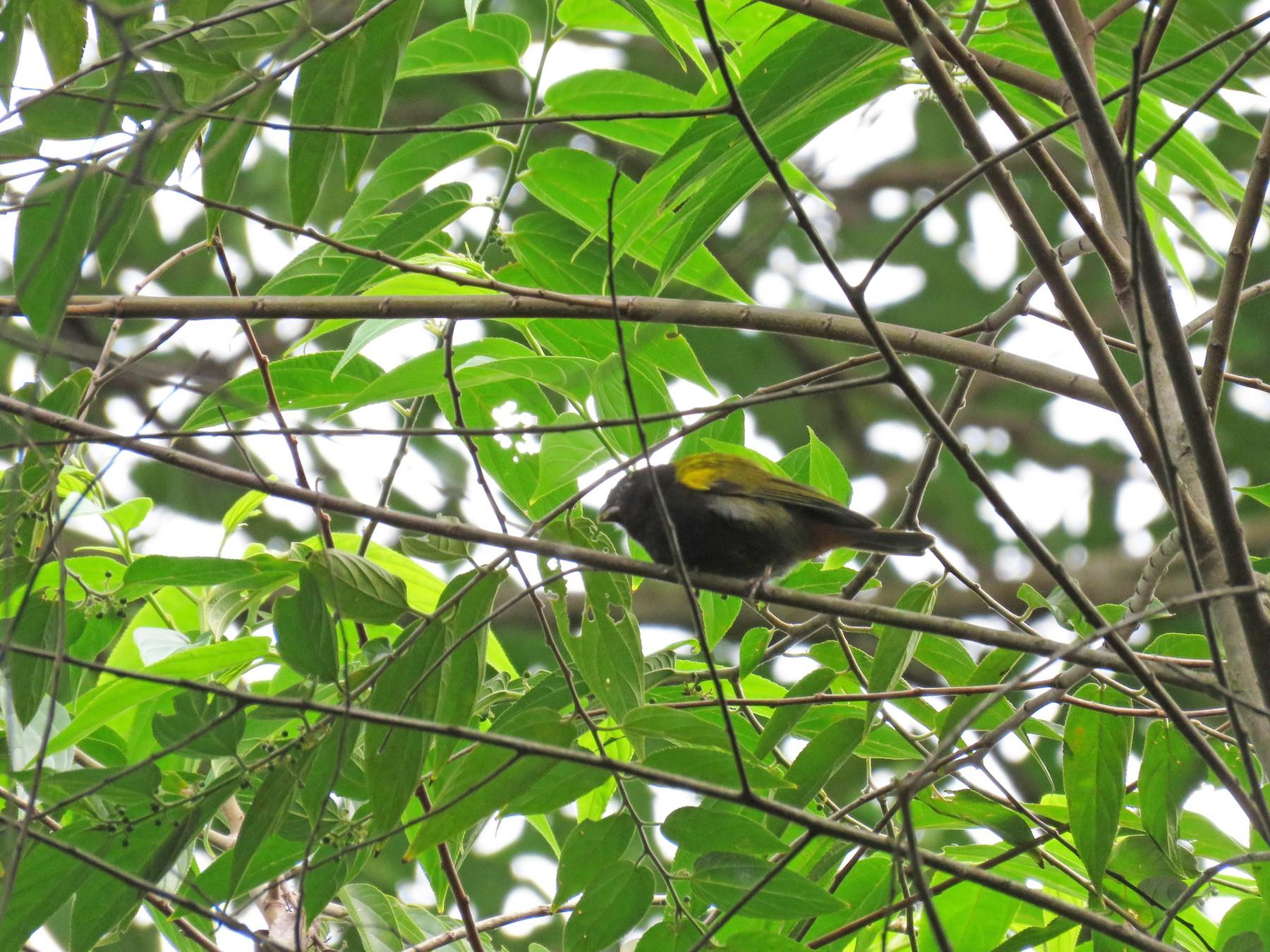 Yellow-shouldered Grassquit - Carla Bregman