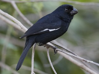 - Cuban Bullfinch (Cuban)