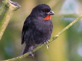 - Lesser Antillean Bullfinch