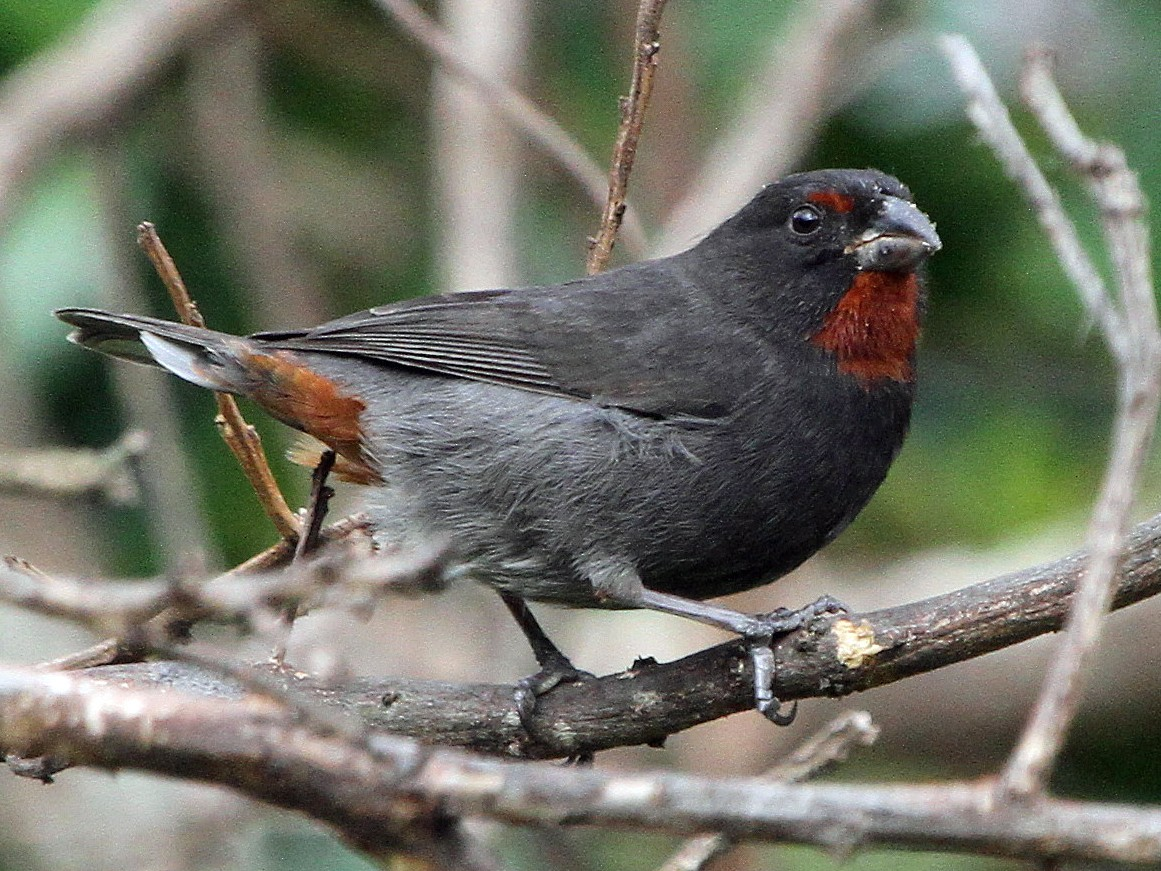 Lesser Antillean Bullfinch - Stephen Gast