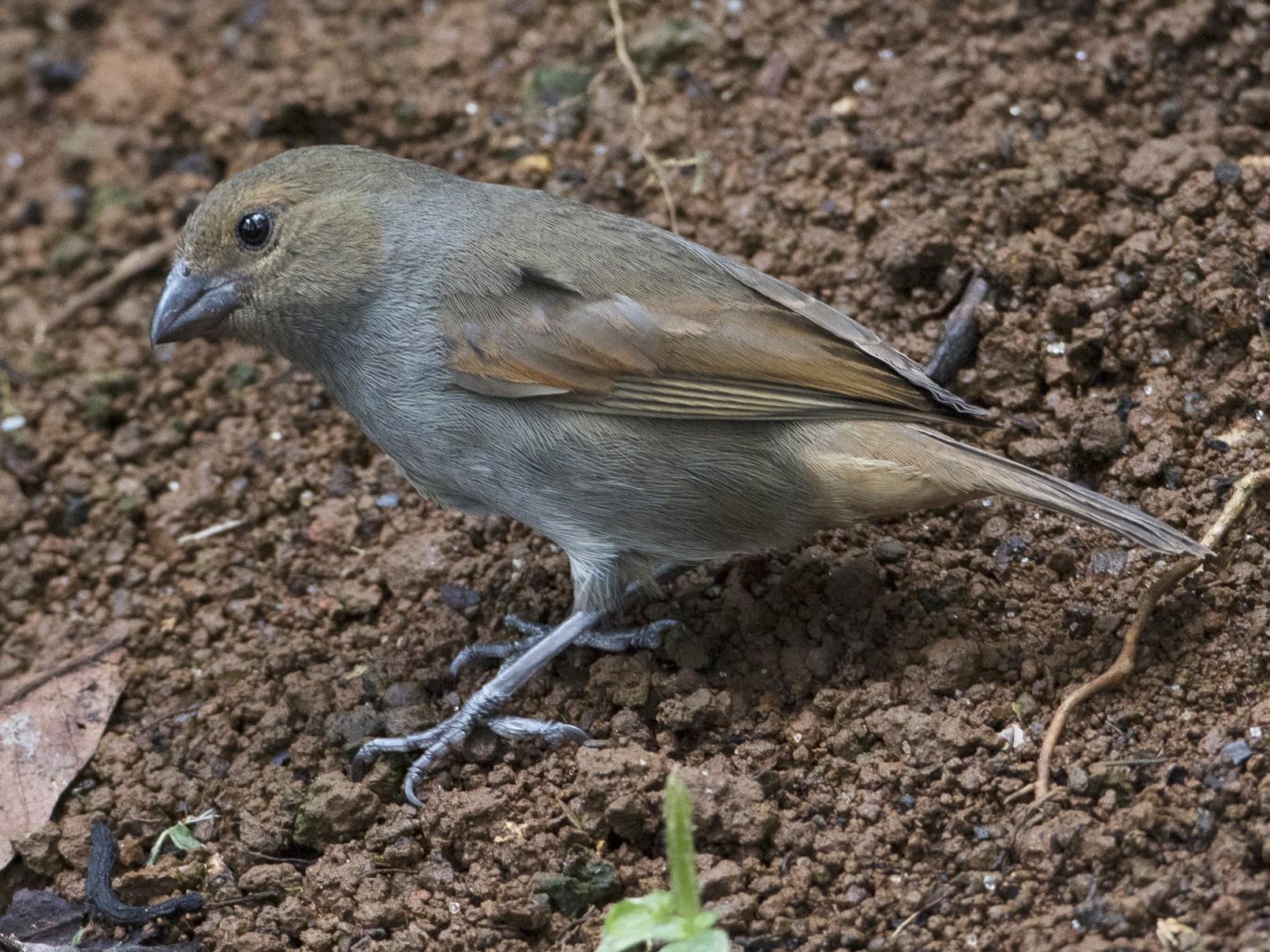 Lesser Antillean Bullfinch - Brian Sullivan