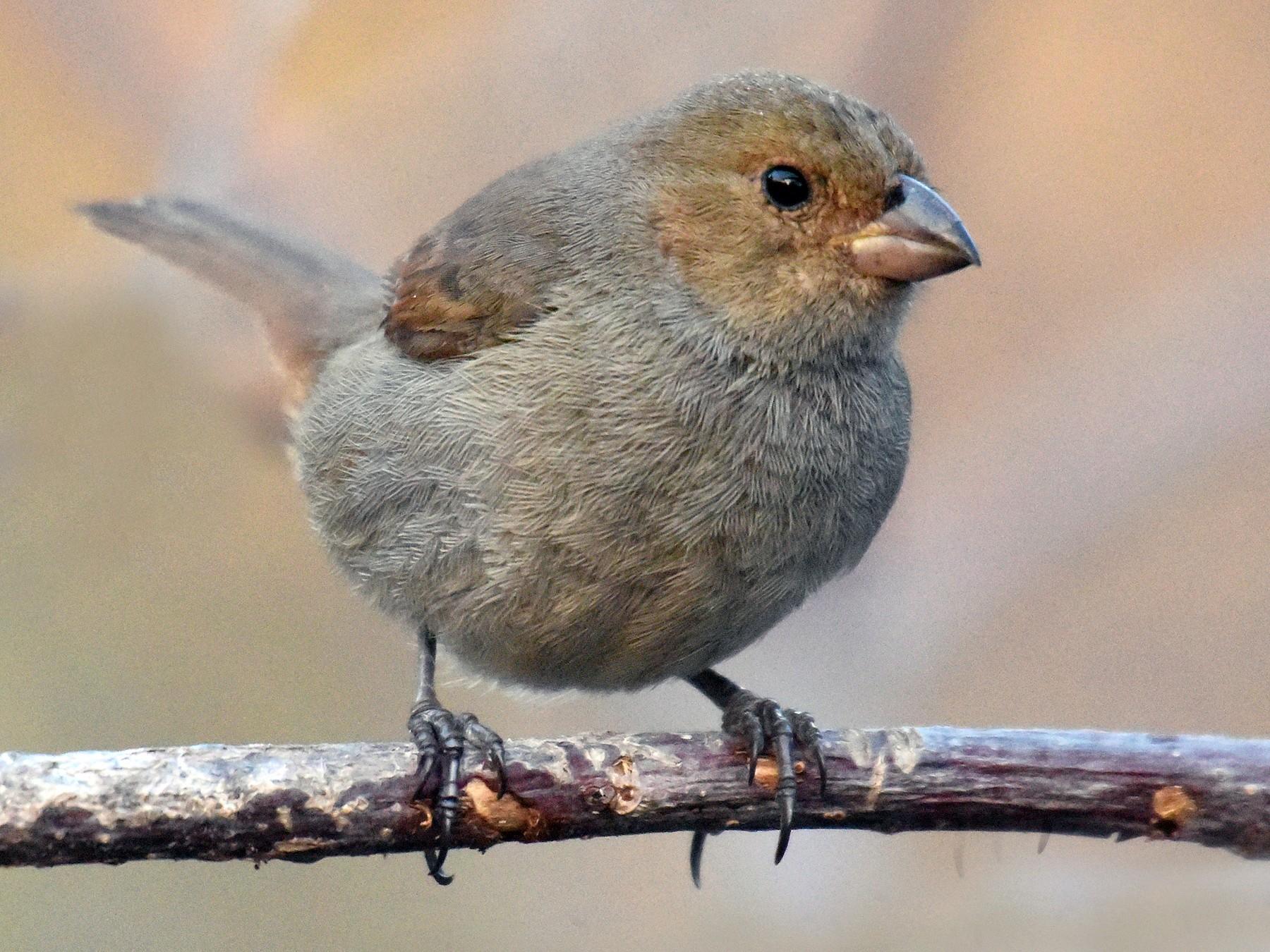 Lesser Antillean Bullfinch - Steven Mlodinow