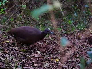 Brown Tinamou, ML105538801