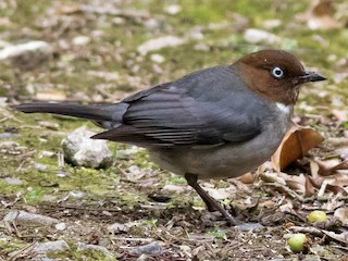 - White-eyed Thrush