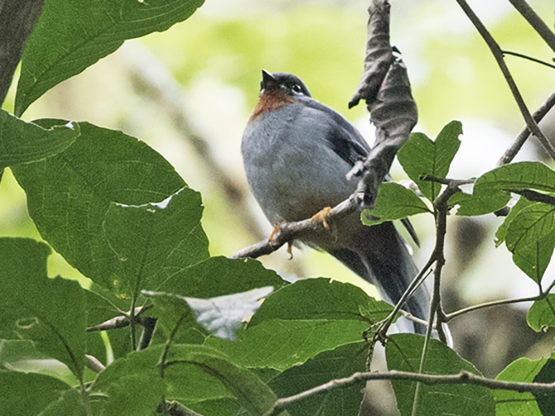 Rufous-throated Solitaire - Charley Hesse