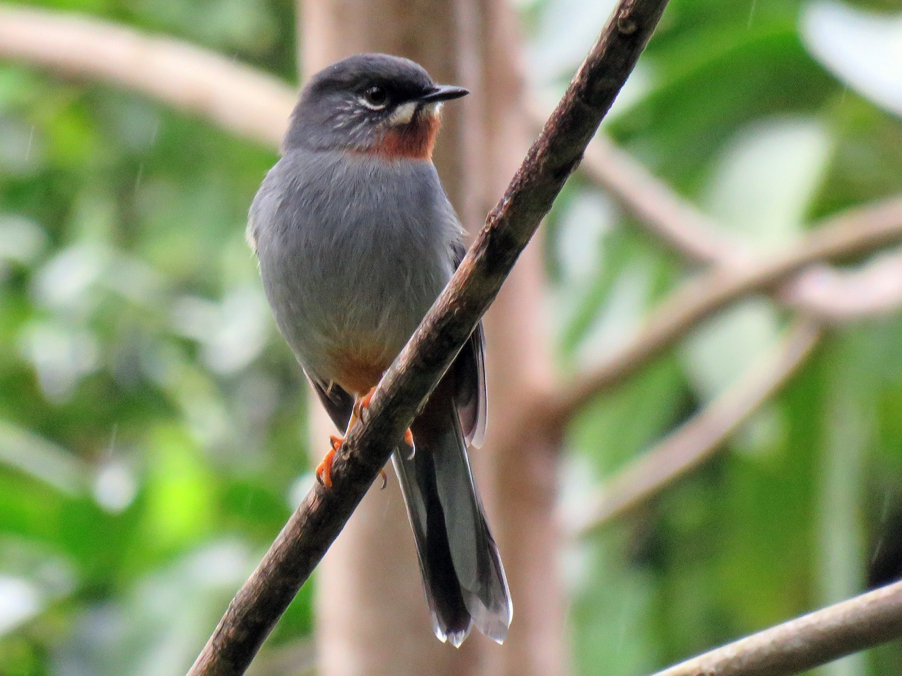 Rufous-throated Solitaire - Thomas Brooks
