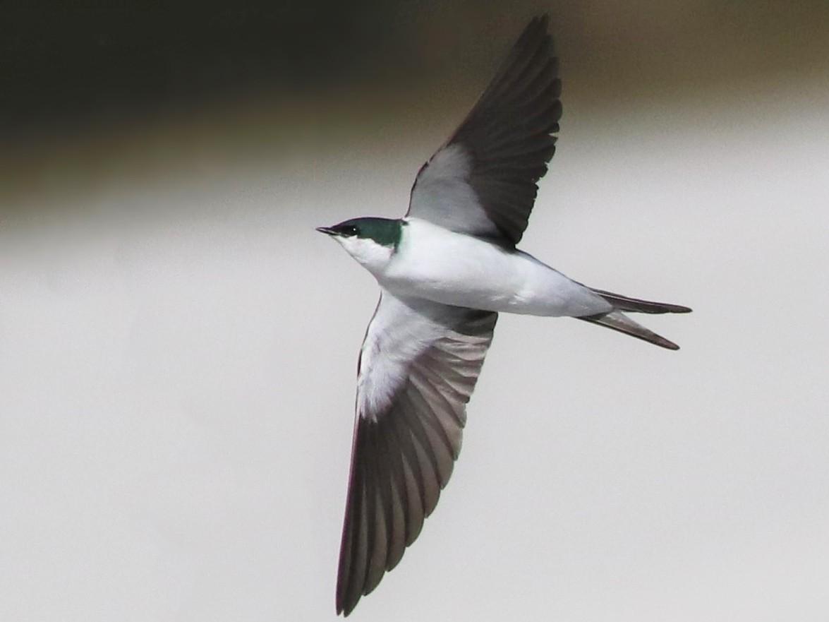 Bahama Swallow - Brendan  Fogarty