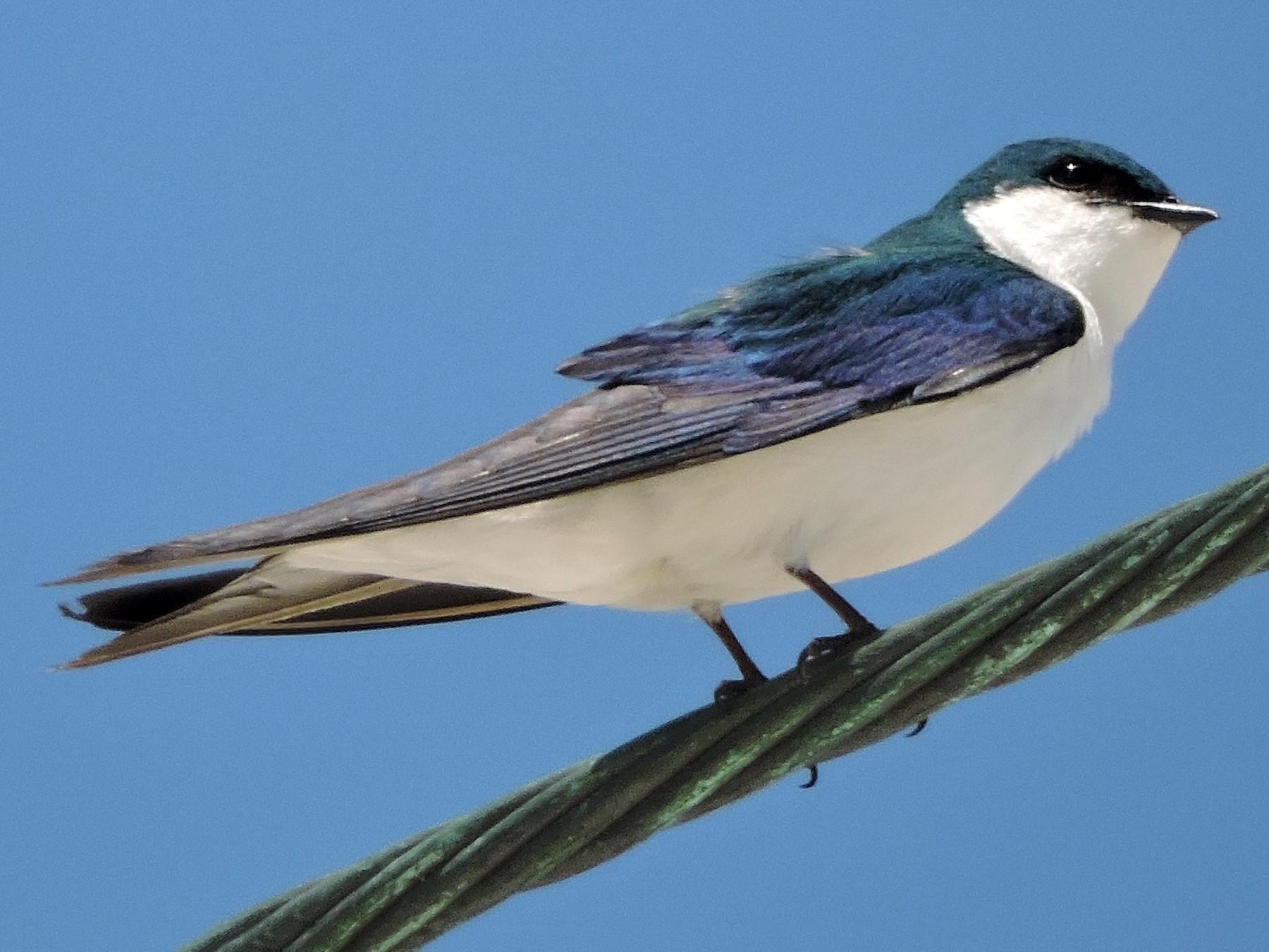 Bahama Swallow - Kathryn Cowdery