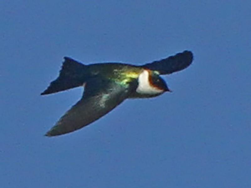 Golden Swallow - Pam Rasmussen