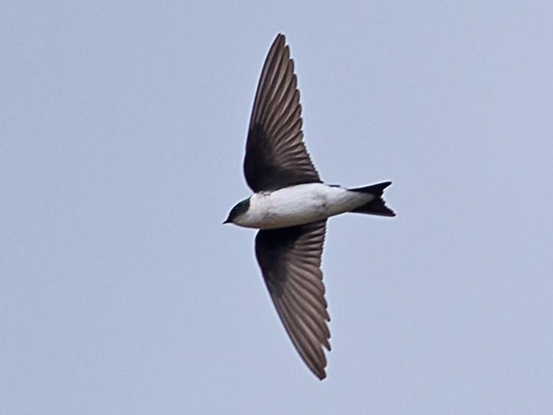 Golden Swallow - Frantz Delcroix (Duzont)