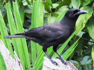- Jamaican Crow