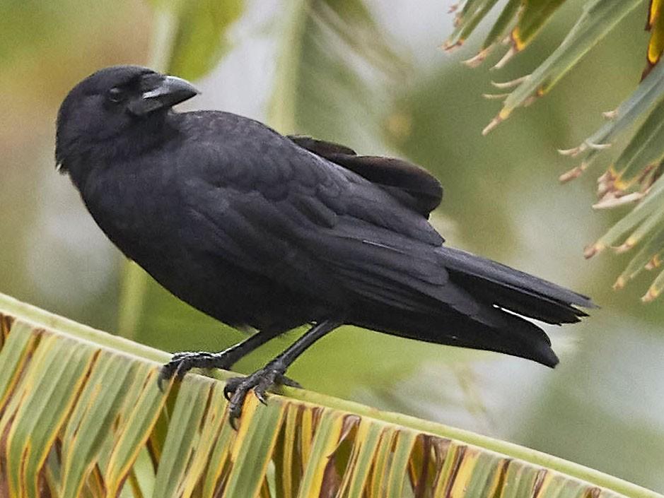 Palm Crow - Arturo Kirkconnell Jr