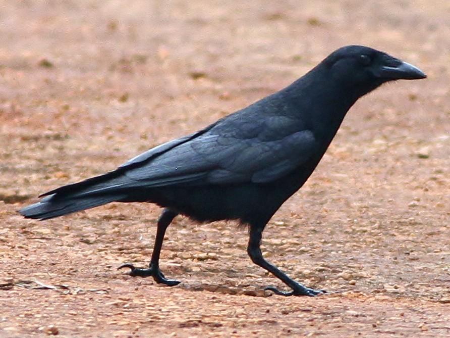 Palm Crow - Alex Lamoreaux