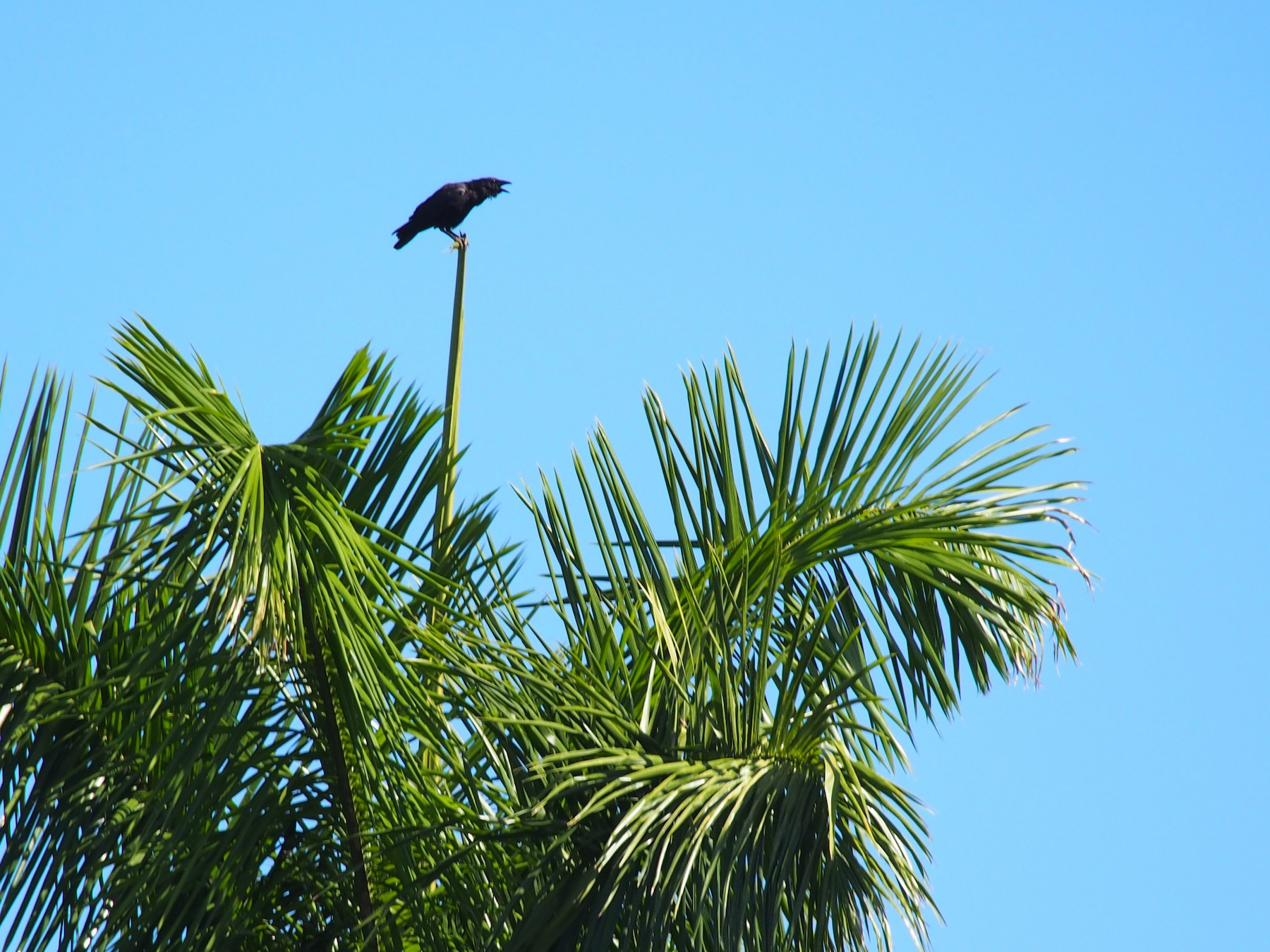 Palm Crow - Daniel Lebbin
