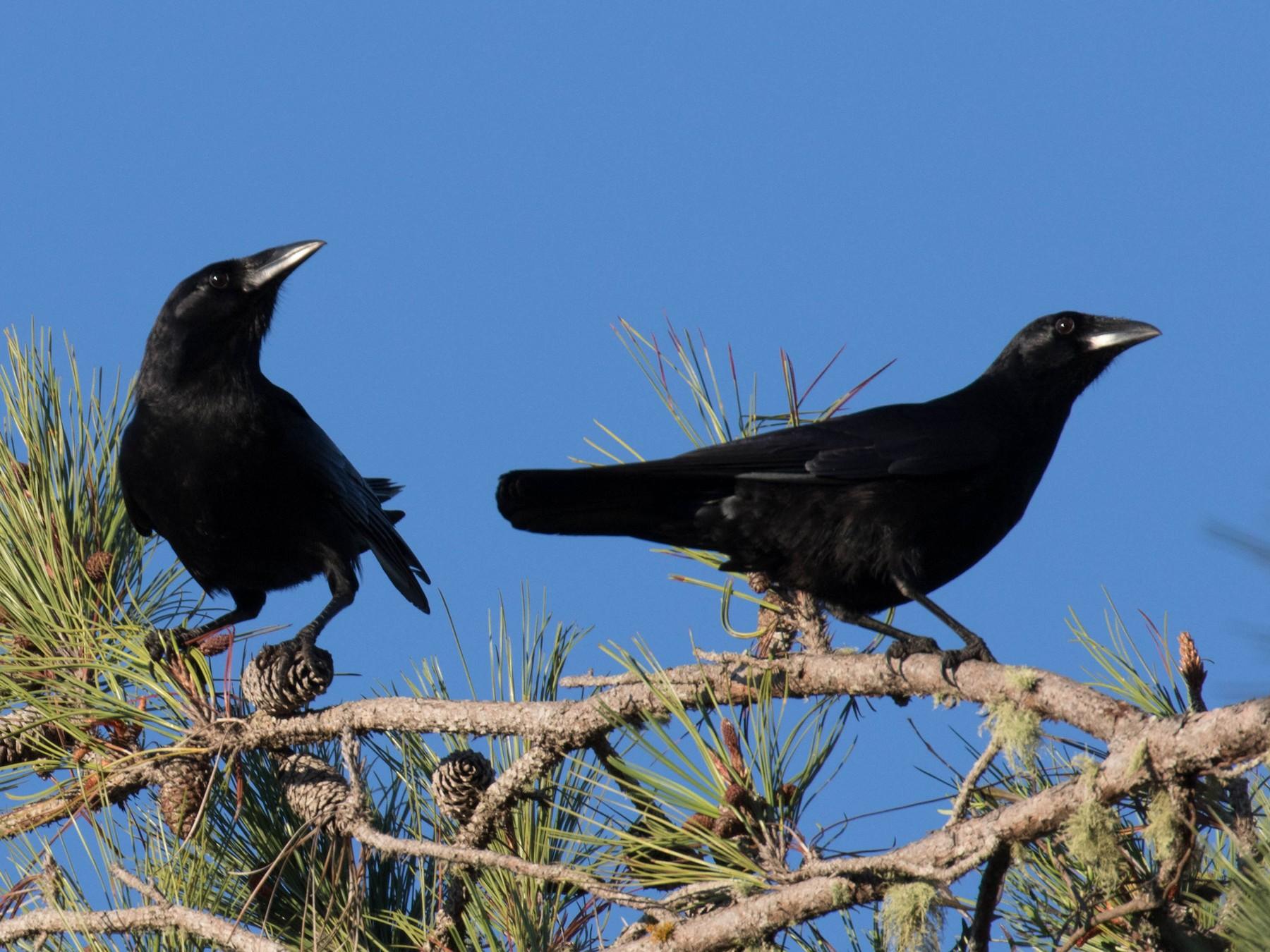 Palm Crow - Ross Gallardy