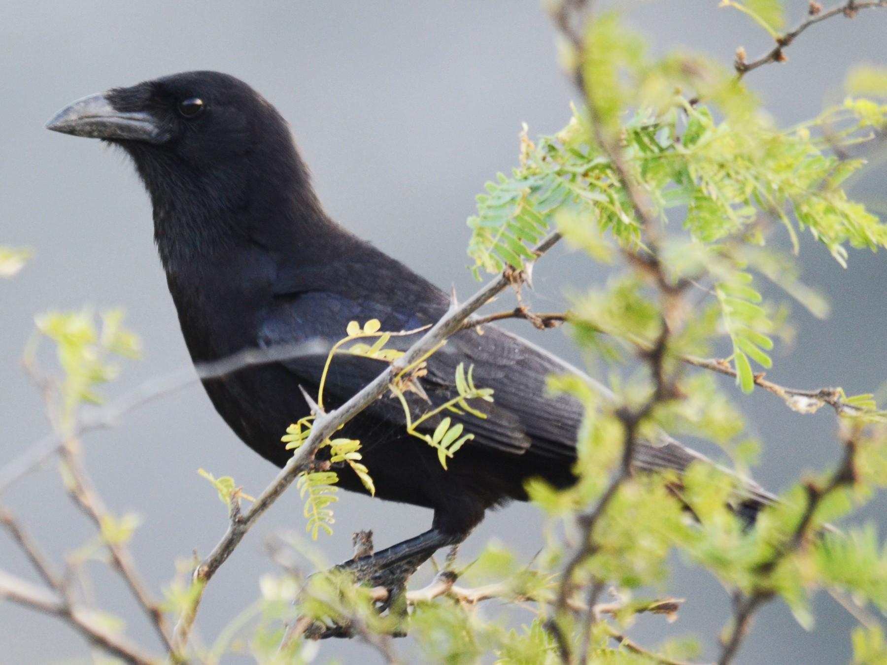 Palm Crow - Aidan Place