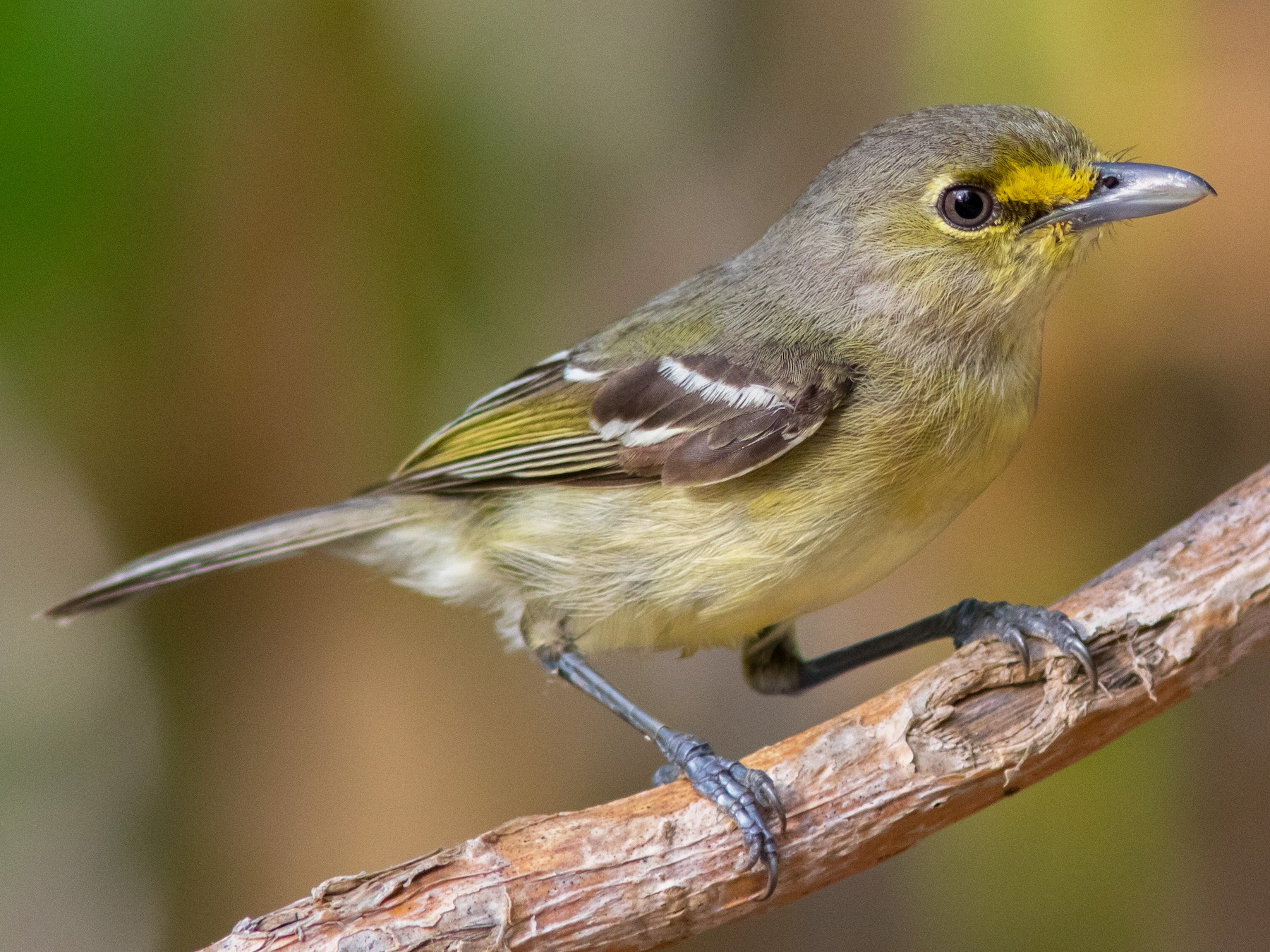 Thick-billed Vireo - Spencer  Jablonski