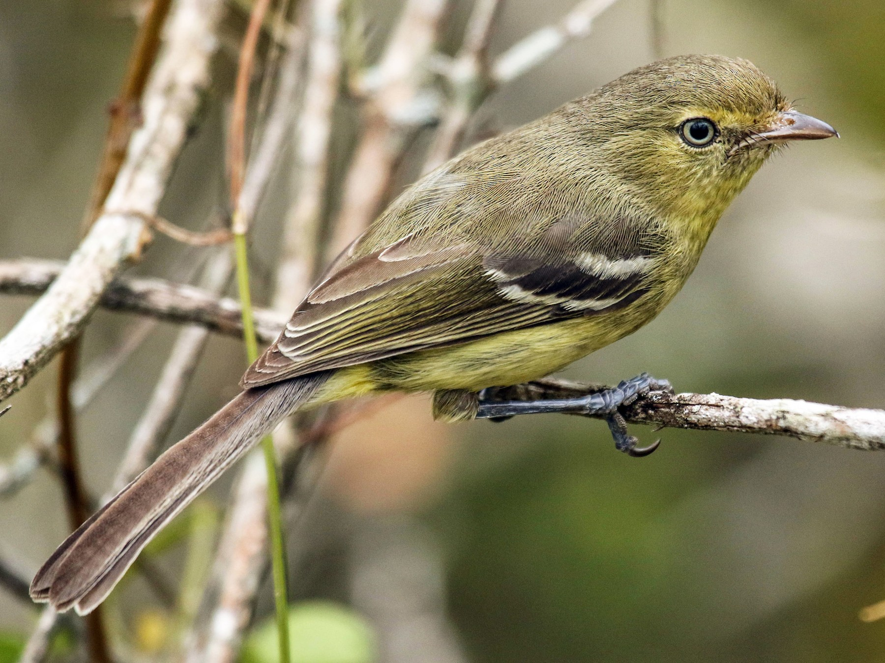 Flat-billed Vireo - Mitch Walters