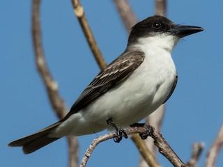 - Giant Kingbird