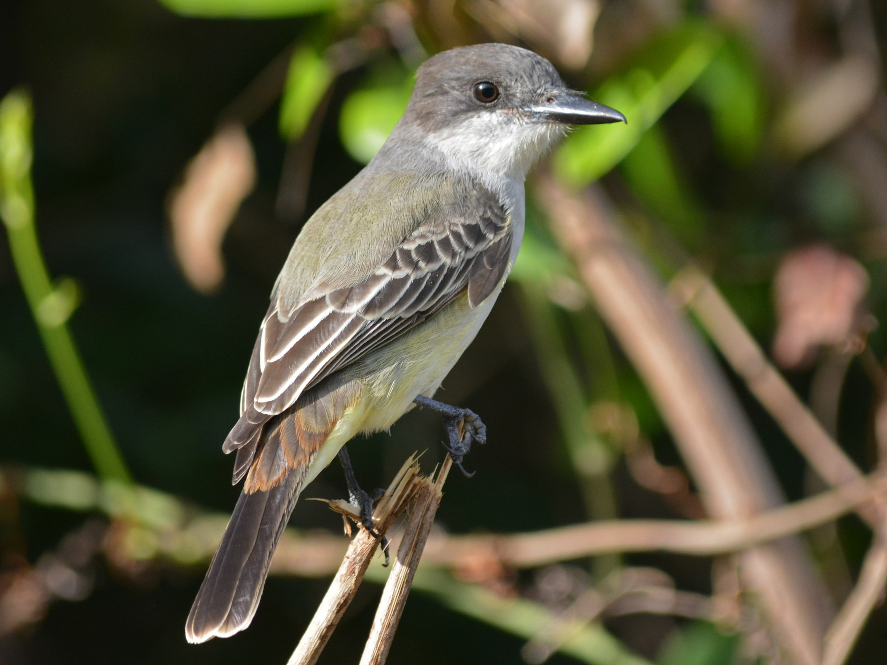 Loggerhead Kingbird - Anonymous eBirder