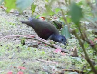Bronze Ground Dove