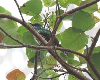 - White-eared Bronze-Cuckoo