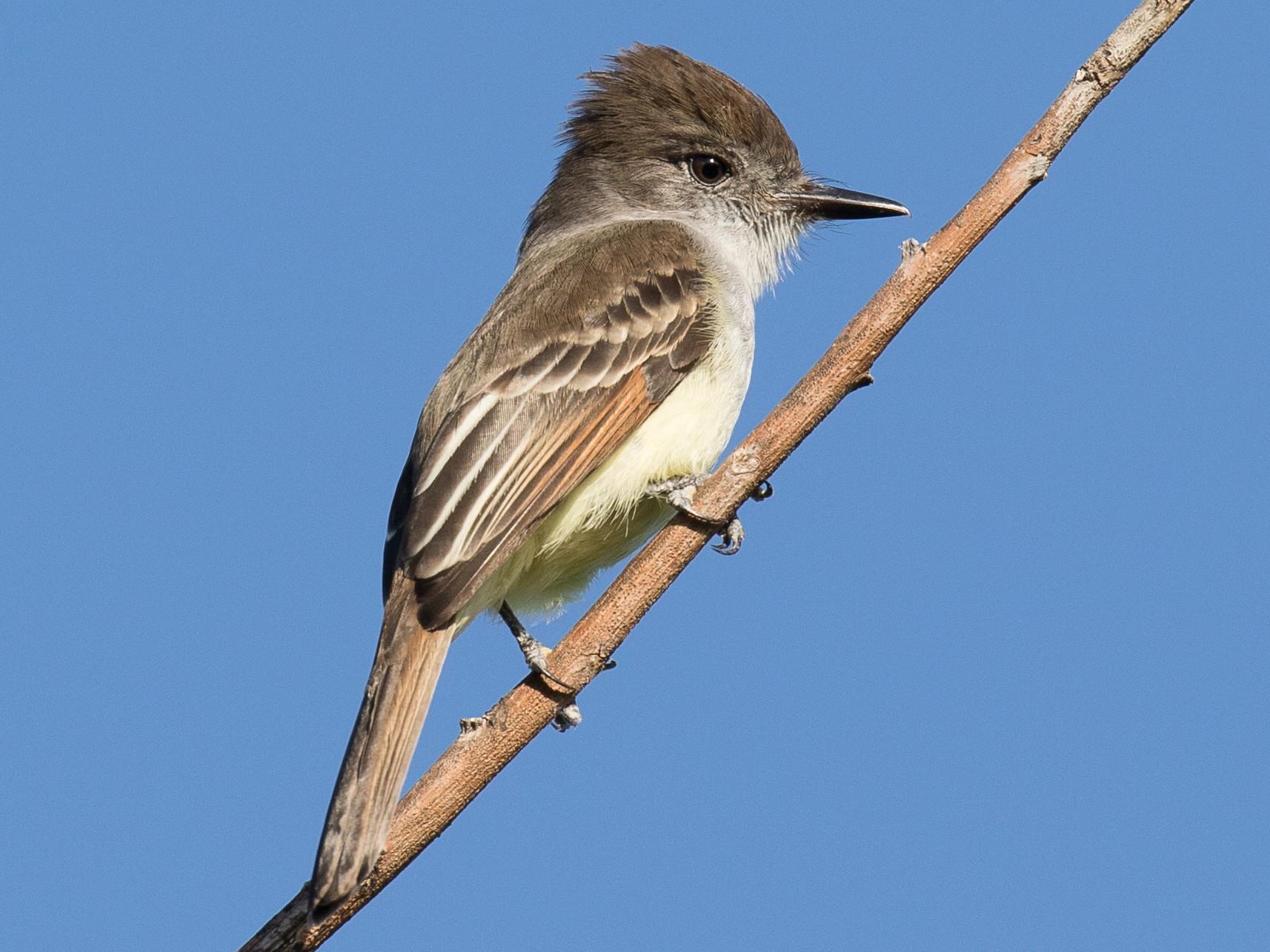 Stolid Flycatcher - Simon Best