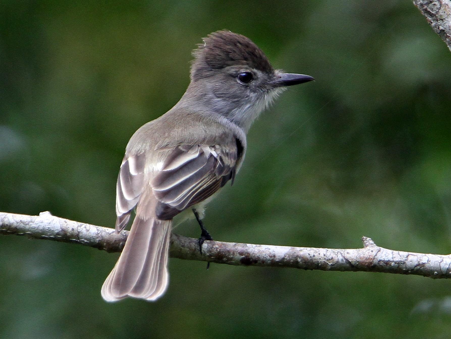 La Sagra's Flycatcher - Christoph Moning