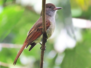 - Rufous-tailed Flycatcher